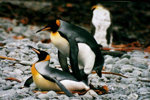 IMG_1247_mating_king_penguins